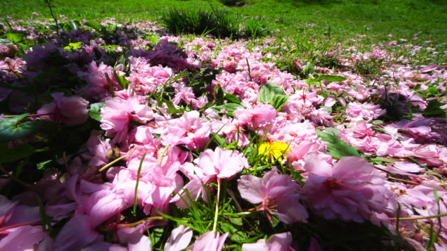 many fallen cherry petals on the lawn, which are shaking by wind and illuminates in sunlight and shadow at central park new york usa on may 09 2018. - 花びら点の映像素材/bロール