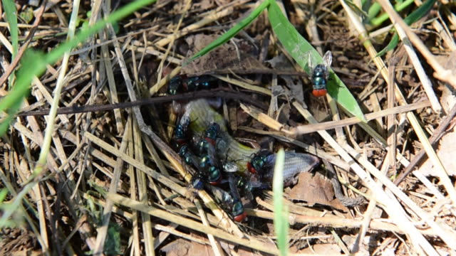 Många flugor svärma slaktkroppar.