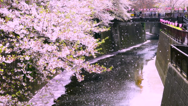 many fluttering cherry blossoms are falling down from rows of cherry trees to the meguro river.people are watching the fluttering cherry blossoms and cherry blossoms pink carpet (hanaikada) from the bridge. - 桜の花点の映像素材/bロール