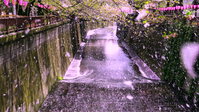 many fluttering cherry blossoms are falling down from rows of cherry trees to the meguro river.cherry blossom blizzard (sakura fubuki) blows away myriads of cherry blossoms to the meguro river from rows of cherry trees. - kanto region stock videos and b-roll footage