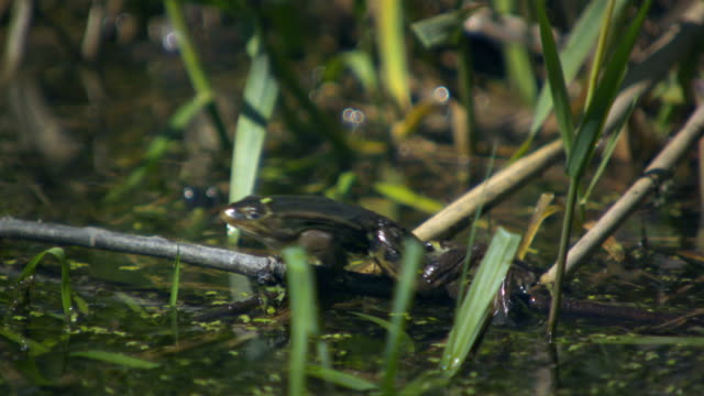 many frogs jump into the water (slow motion) - österreich stock-videos und b-roll-filmmaterial