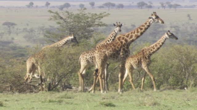 ws pan many giraffes walking and eating / tanzania - gruppo medio di animali video stock e b–roll
