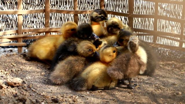 Viele kleine ducks sind kalt