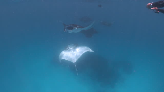 many manta rays swimming together in the ocean - manta ray stock videos & royalty-free footage