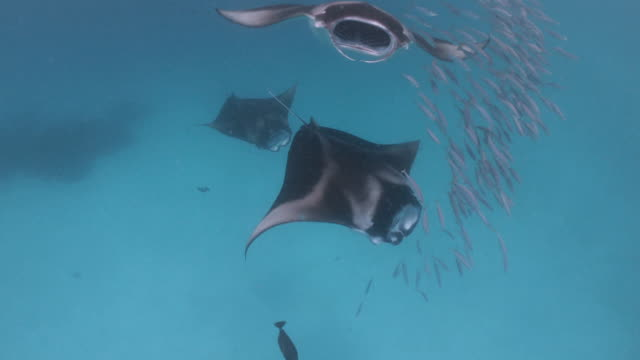 vídeos de stock e filmes b-roll de many manta rays swimming together in the ocean - grande raia