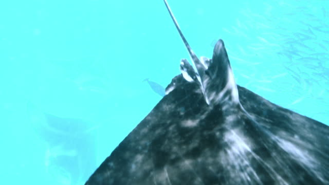 stockvideo's en b-roll-footage met veel manta's zwemmen samen in de oceaan - plankton