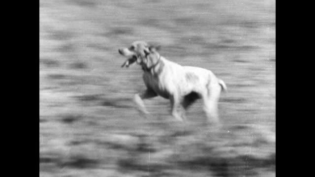 many men on horseback walking open woods field pointer dog running across field covey of quail ws pointer running in woods stopping dead still... - freizeitreiten stock-videos und b-roll-filmmaterial