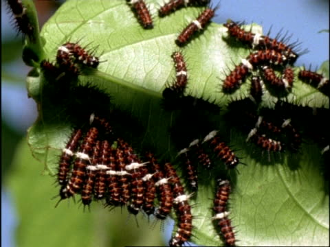 cu many orange lacewing butterfly (cethosia penthesilea) caterpillars feeding on leaves, australia - life cycle stock videos & royalty-free footage