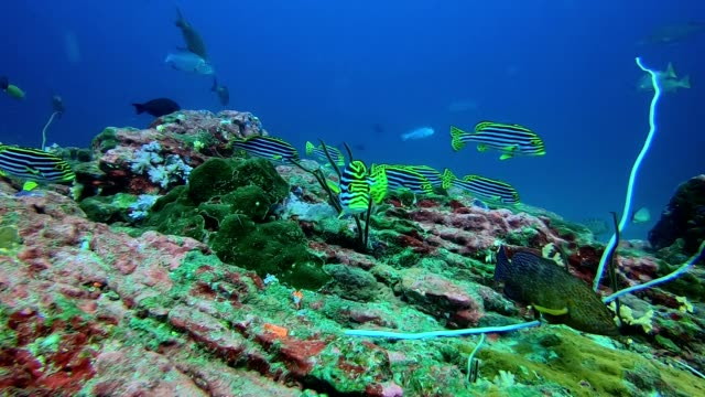 many oriental sweetlips are in a coral reef - sweetlips stock videos & royalty-free footage