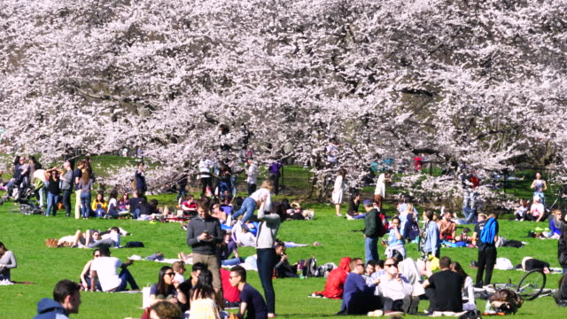 many people relax at front of cherry blossom trees in sheep meadow central park new york. - sheep meadow central park stock videos and b-roll footage