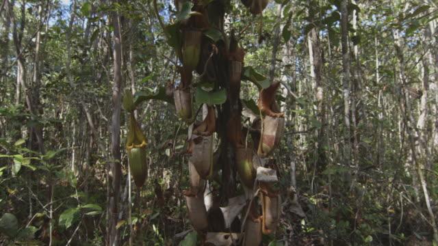 vídeos y material grabado en eventos de stock de many pitcher plants growing on a tree. - planta pitcher