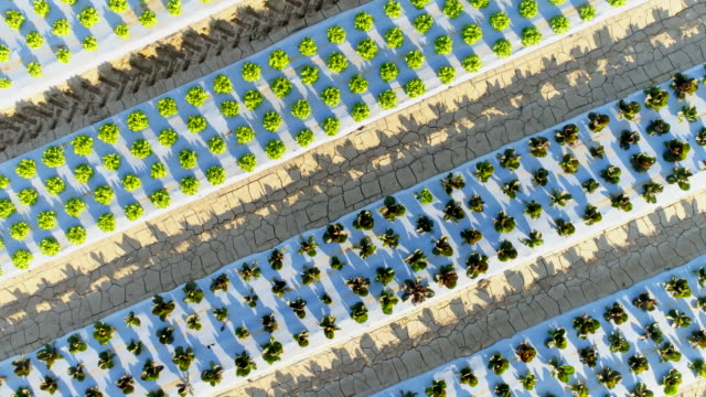 AERIAL Many rows of lettuce growing on a field