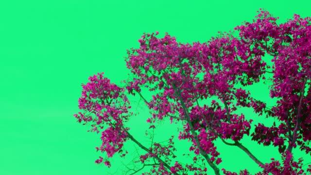 vídeos de stock, filmes e b-roll de muitos seringueira folha verde rosa movendo-se voando ao longo vento soprar - árvore tropical