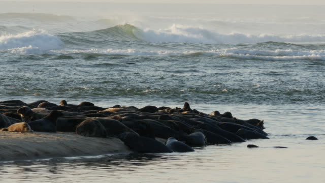Many seals on sandbar peninsula, big ocean waves breaking in background