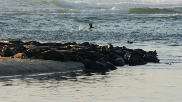 CU Many seals on sandbar peninsula, ocean waves breaking, sea birds on water in background