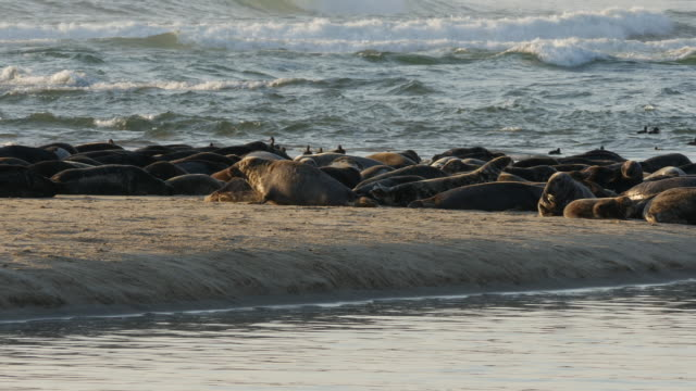 CU Many seals & sea birds on sandbar, ocean waves breaking in background