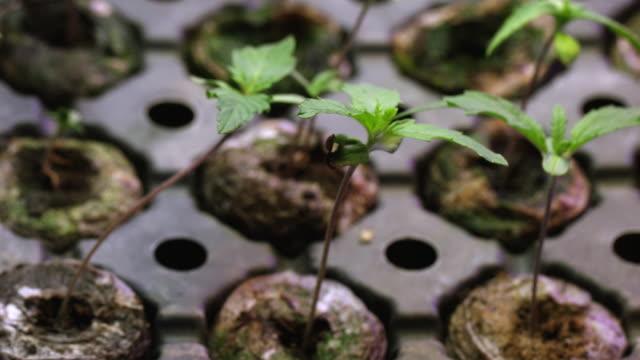 viele kleine marihuana (cannabis) seedling wachsen in einem seedling tablett (hanf) - nutzpflanze stock-videos und b-roll-filmmaterial