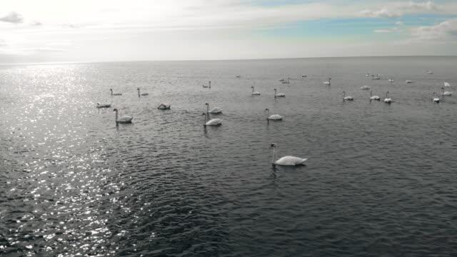 stockvideo's en b-roll-footage met many white swans floating at baltic sea - knobbelzwaan
