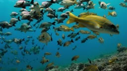Maori Snapper and Bluelined Snapper fish swim near coral reef in the Pacific Ocean. Underwater life with school of tropical fish moving in the water. Diving in the clear water.