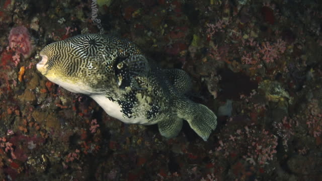 map puffer fish, flores indonesia, flores indonesia - puffer fish stock videos & royalty-free footage