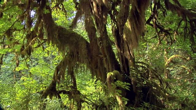 vídeos de stock, filmes e b-roll de cu, tu, la, maple grove, olympic national park, washington, usa - olympic national park