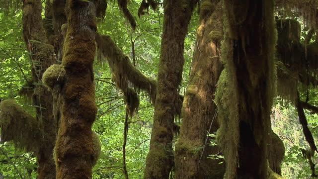 vídeos de stock, filmes e b-roll de cu, zo, maple grove, olympic national park, washington, usa - olympic national park