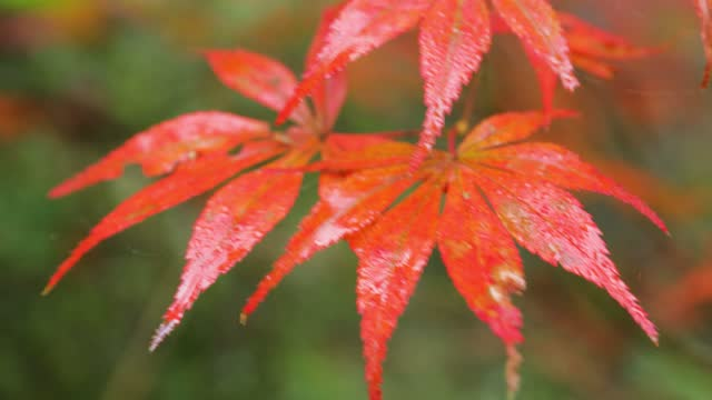 maple leaf close-up - maple tree stock videos & royalty-free footage