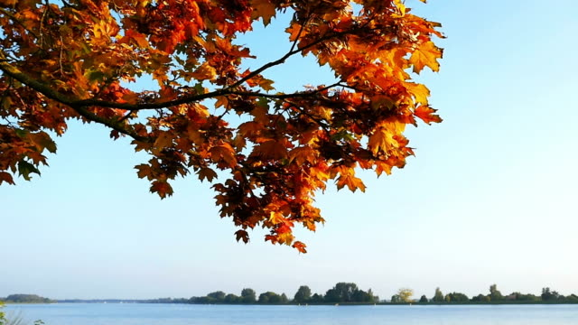maple leaf falling off in autumn cinemagraph - maple leaf stock videos and b-roll footage