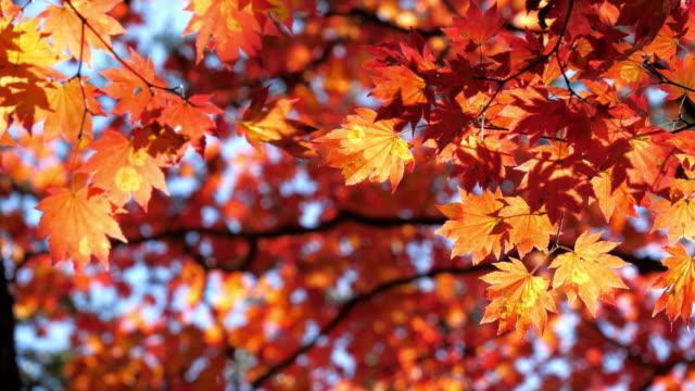 lönnlöv i röd färg höst tid i japan, natur bilder slow motion - höstlöv bildbanksvideor och videomaterial från bakom kulisserna