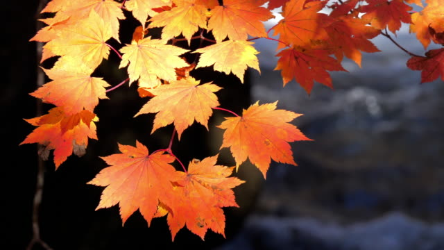 maple leaf in red color autumn time in japan , nature footage slow motion - japanese maple stock videos & royalty-free footage