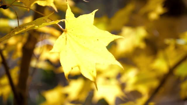 黄色のカエデの葉 日本の秋の時間、自然の映像 スローモーション - 暦月点の映像素材/bロール