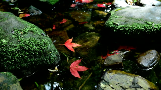 maple leaf on the rock. - maple tree stock videos and b-roll footage