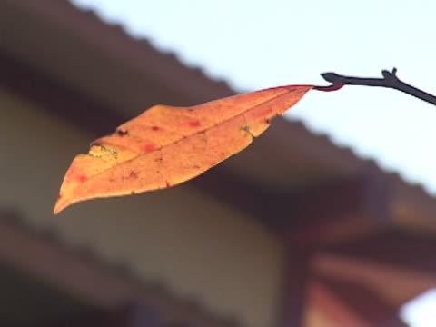 vidéos et rushes de feuille d'érable  - arbre à feuilles caduques