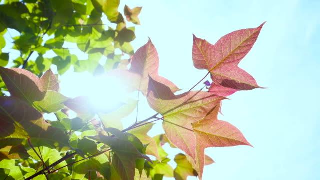 maple leaf - maple tree stock videos and b-roll footage