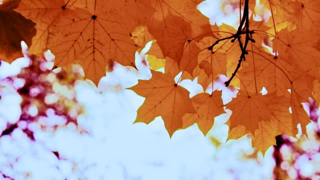 maple leaf with sky background - maple leaf stock videos and b-roll footage