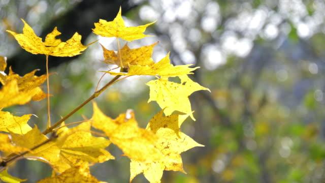 vídeos de stock e filmes b-roll de maple leaf yellow color autumn time in japan , nature footage slow motion - mês