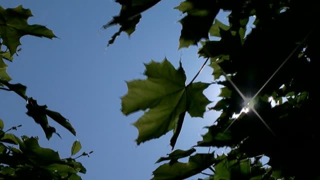 maple leafs on the wind - adn bildbanksvideor och videomaterial från bakom kulisserna