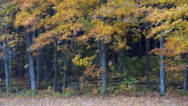 vídeos de stock e filmes b-roll de maple leaves falling and blowing in wind in autumn - vedação