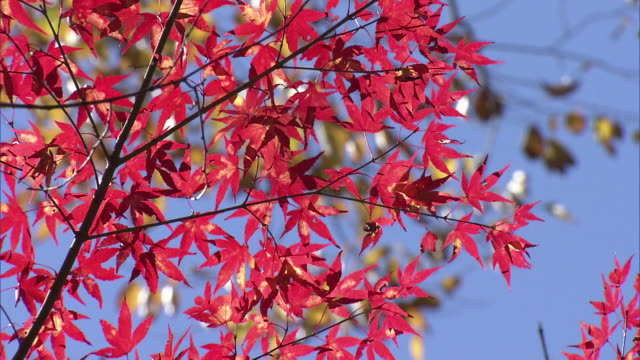 maple leaves in autumn colors, ibaraki, japan - satoyama scenery stock videos & royalty-free footage