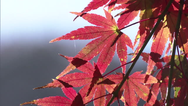 maple leaves in autumn colors - maple tree stock videos and b-roll footage