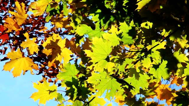 maple leaves in autumn - kvist bildbanksvideor och videomaterial från bakom kulisserna