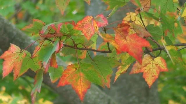 vídeos de stock, filmes e b-roll de maple folhas em vermelho amarelo verde - ramo parte de uma planta