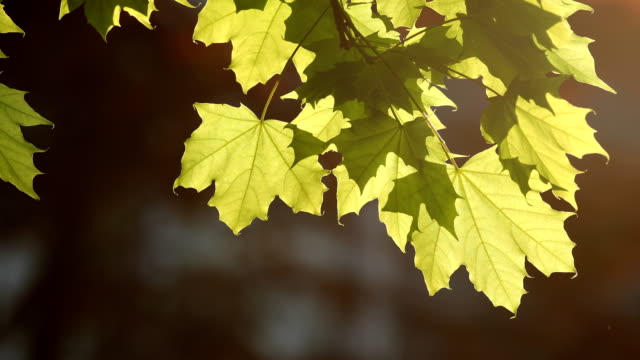 maple leaves in the wind - maple stock videos & royalty-free footage