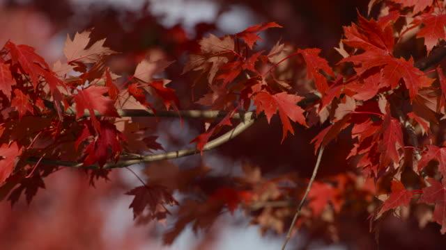 カエデの葉が風にシャッター - 色が変わる点の映像素材/bロール