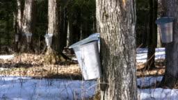 Maple Syrup Farm