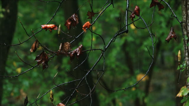 stockvideo's en b-roll-footage met maple tree forest in the fall rain, new jersey - new jersey