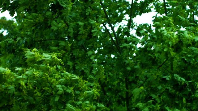 Ahorn Baum In einem Sturm Nahaufnahme (4 k UHD zu/HD)