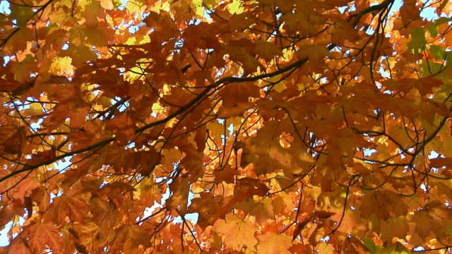 cu, la, maple tree in autumn colors, cape breton island, nova scotia, canada - maple tree stock videos and b-roll footage