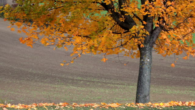 maple tree in autumn - maple tree stock videos and b-roll footage