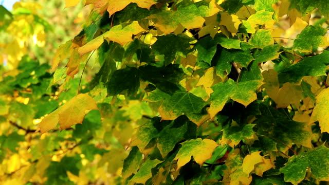 maple tree in autumn - kvist bildbanksvideor och videomaterial från bakom kulisserna